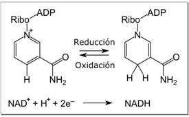 Oxidacion-reduccion-NAD +