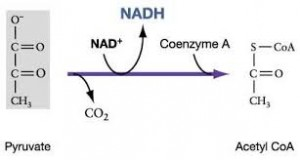 acetyl coA 2