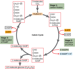 calvin cycle 2