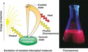 excitation of chlorophyll