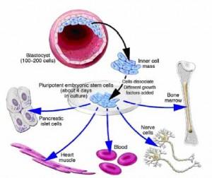 stem cells 2