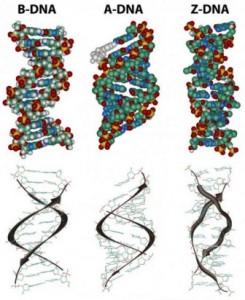 B-DNA, A-DNA,z-dna
