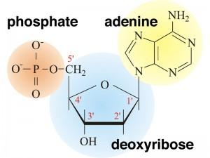 nucleotide (1)