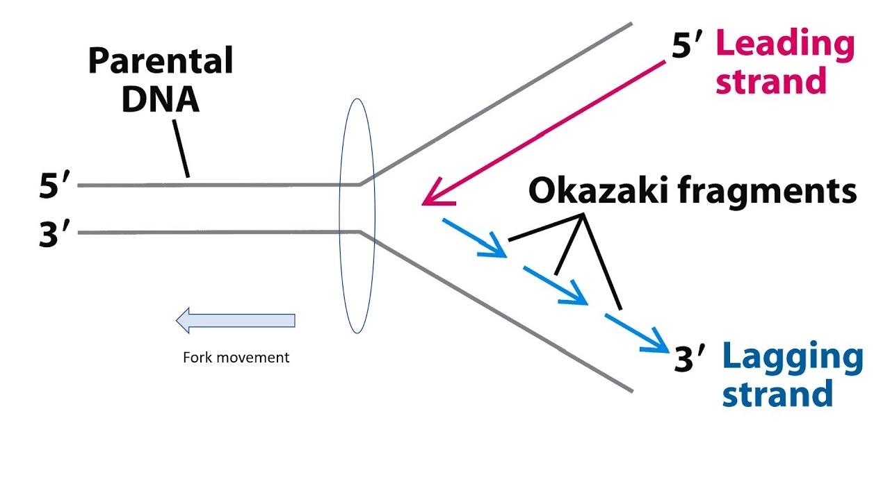 okazaki frag