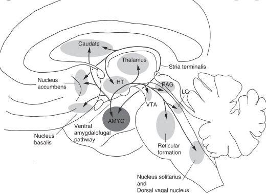 Ventral medio amygdalo fugal pathway